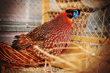 pheasant: pheasant at the cage Stock Photo