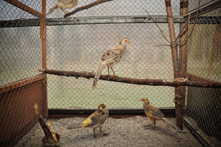 phasianidae: pheasant at the cage Stock Photo
