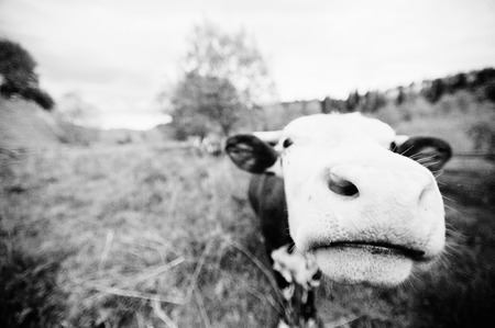 closeup cow face: Funny nose of cow