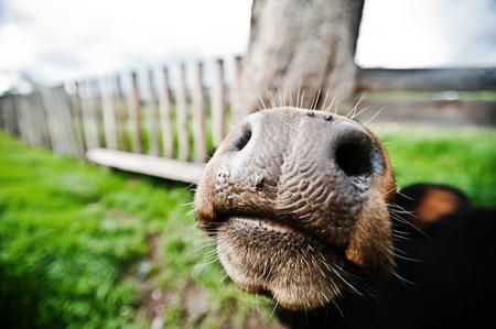 neus: Funny nose of cow