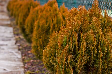 thuja occidentalis: Yellow thuja occidentalis, conifer trees Stock Photo