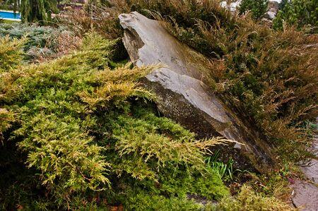 thuja occidentalis: Yellow thuja occidentalis, conifer trees on wet stone