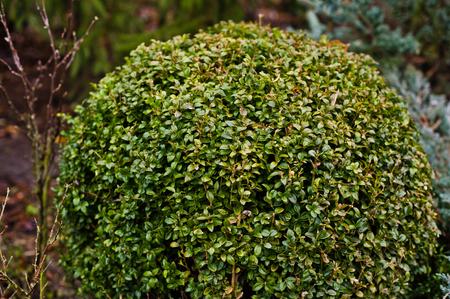 touraine: Boxwood of lawns on garden