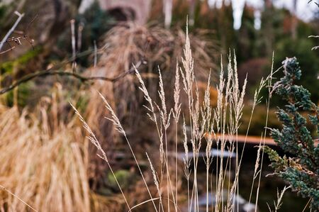 cattail: Tall grass of  feather reed Stock Photo