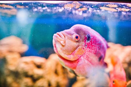 freshwater aquarium plants: Funny aquarium fish with bubbles Stock Photo
