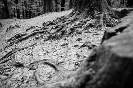 bark rain tree: Extensive roots on forest. Black and white Stock Photo
