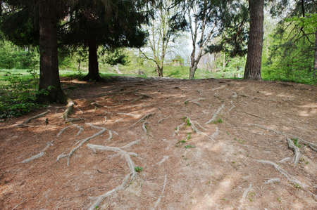 extensive: Extensive roots on forest