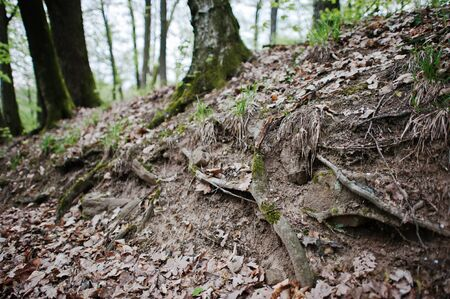 extensive: Extensive roots on forest ground