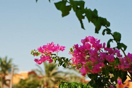 flower leaf: Colorful of flower bougainvillea flower and leaf