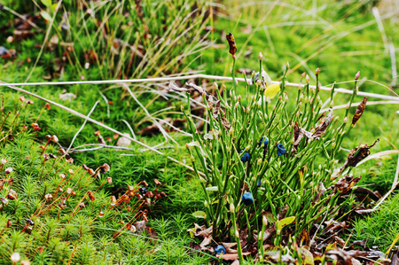 Blueberries on moss and grass at forest Stock Photo