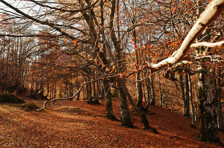 field maple: Branches of tree in amazing autumn forest  with red leaves on ground. Stock Photo
