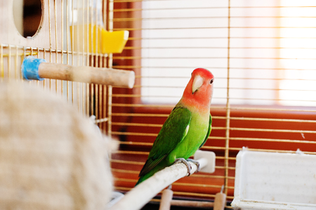 Funny lovebird parrot at large cage on rooom with sunshine.