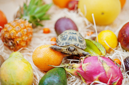 Small overland turtle on fresh exotic fruits.