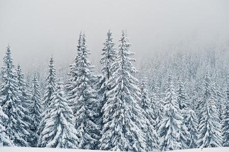 Pijnbomen bedekt met sneeuw op berg Chomiak. Mooie winterlandschappen van de Karpaten, Oekraïne. Majestueuze vorstaard. Stockfoto