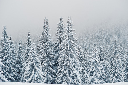 Pine trees covered by snow on mountain Chomiak. Beautiful winter landscapes of Carpathian mountains, Ukraine. Majestic frost nature.