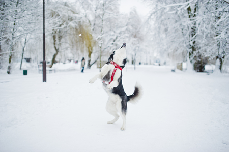 Husky dog on a leash walking at park on winter day. Archivio Fotografico - 95903851