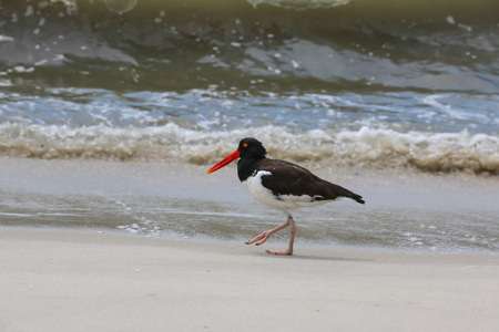 Oyster Catcher waling along beach