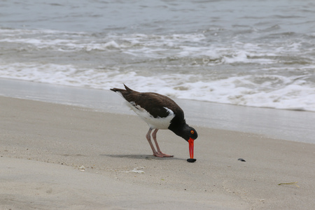 Oyster Catcher Eating