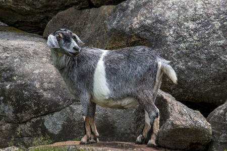 Nubian Goat mix
