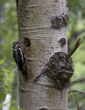 Hairy Woodpecker feeding young 版權商用圖片