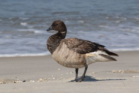 A Brant Goose on the beach at Cape May Point NJ.