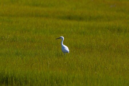 A Snowy Egret walking through grasses in a wetlands Zdjęcie Seryjne