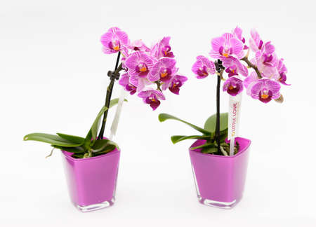 exempt: Two orchids in purple on white background glasscashepot
