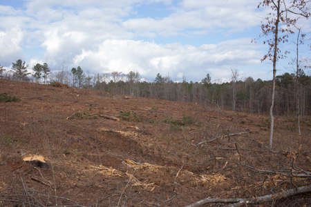 logging industry: Landscape of tree stumps in freshly harvested pine forest with cloudy blue sky Stock Photo
