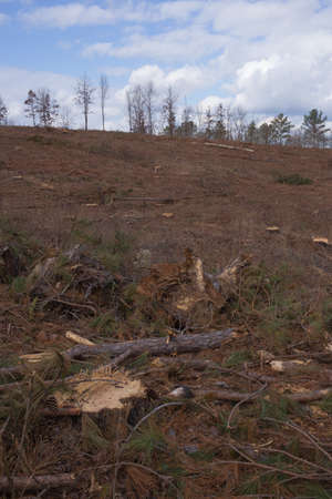 logging industry: Former pine tree forest clear cut by logging industry - leftover branches, tree stumps Stock Photo