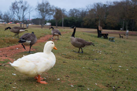canadian geese: White duck among a gaggle of Canadian geese, living in a different social structure Stock Photo