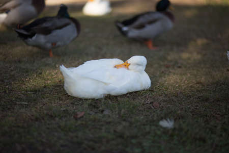 backwards: White duck sleeping in the mottled shade with backwards head, near other ducks in the background