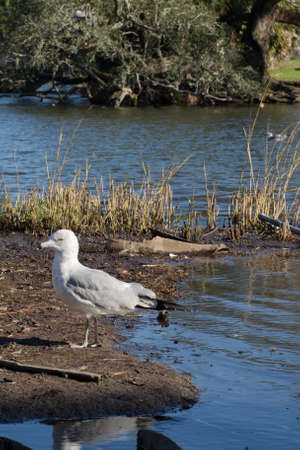 scowling: Scowling grey seagull walking on shore of pond at park with oak tree in far background