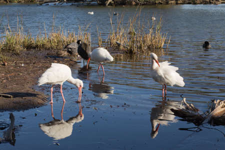dabbling: Three American white ibis Eudocimus albus and their reflections dabbling and preening in shallow water