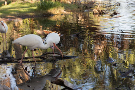 dabbling: Ibis dabbling in shallow water in a tropical southern park