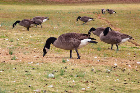 canadian geese: Canadian geese walking through a grassy field and eating
