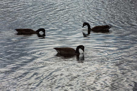 branta: Trio of Canadian geese branta canadensis silhouetted on a pond