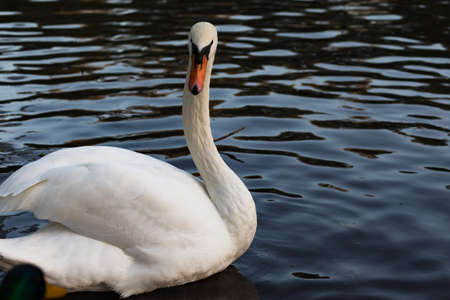 water wings: White mute swan cygnus olor in water, looking back with wings slightly raised in aggressive stance