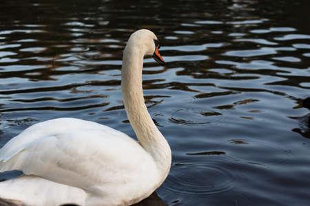 olor: White mute swan cygnus olor gracefully swimming away on dark water with wings slightly raised