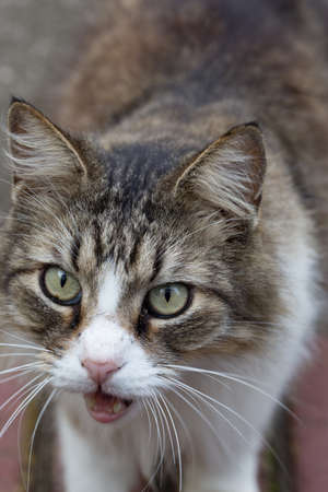 longhair: Macro closeup of longhair tabby cats face, open mouth and meowing, outdoors in daylight Stock Photo
