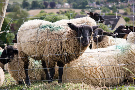 Close Up Of A Black Faced Sheep Flock sitting down in Field photo