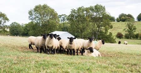 mouton noir: Troupeau de l'alimentation de Black Sheep