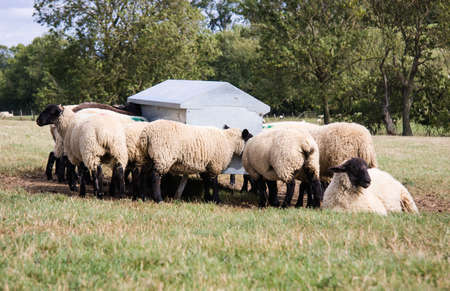 schwarzes schaf: Flock of Black Sheep Feeding