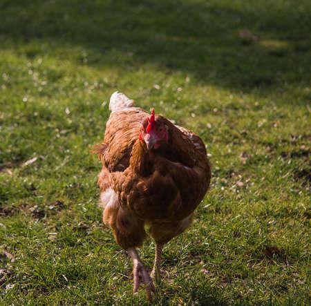 Brown Free Range Chicken photo