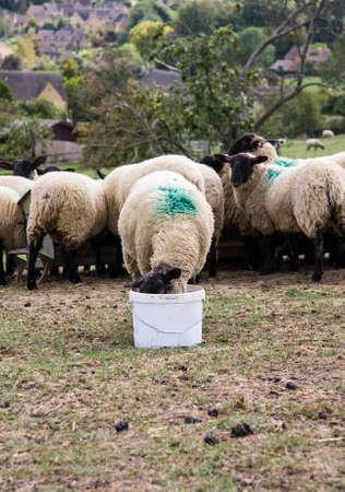 mouton noir: Alimentation de moutons noirs dans un seau