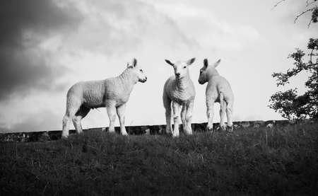 Black and White, Vintage Photo of Lambs Stock Photo - 13092707