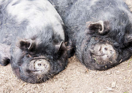 Two black fat pigs sleeping close up photo