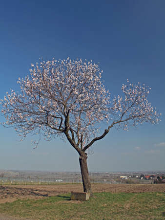 Almond blossom photo