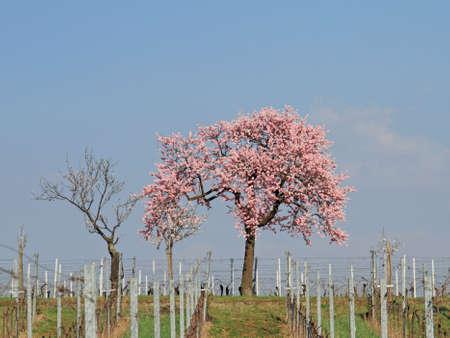 Almond blossom photo