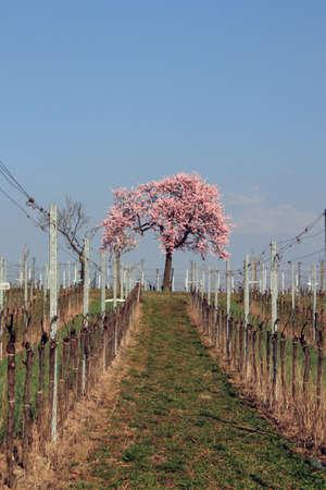 Mandelblüte Standard-Bild