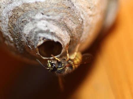 saxon: Saxon Wasps